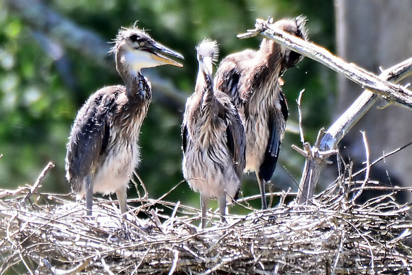 GBH Rookery Greenwich, NY 2014