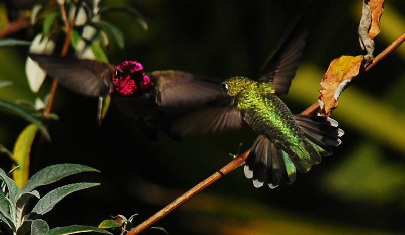 Anna's Hummingbirds - 12/26/2007 - Backyard, Sabre Springs