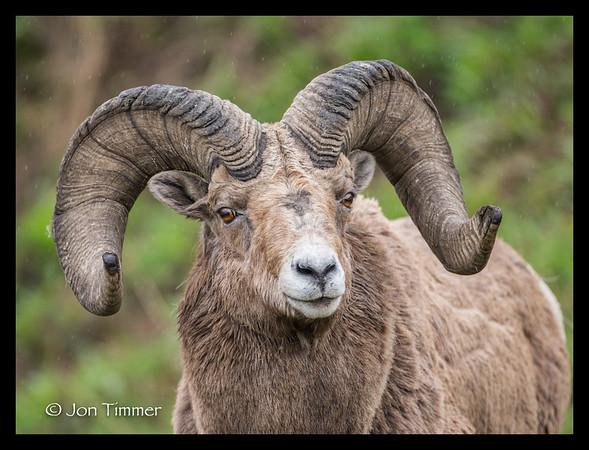 Rocky Mtn Bighorn Sheep