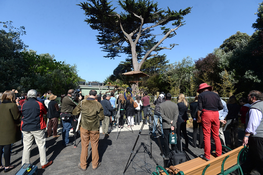 """. A crowd gathered to watch Tenzing, a red panda, who made his debut in his new habitat at the San Francisco Zoo in San Francisco, Calif., on Wednesday, May 7, 2014. The 10-month old red panda was born at the Sacramento Zoo and was named after the framed Sherpa Tenzing Norgay, who scaled Mt. Everest in 1953 with Sir Edmund Hillary. Tenzing\'s habitat, called The Red Panda Treehouse was designed and built by Pete Nelson and his crew from the  Animal Planet television show \""""Treehouse Masters.\"""" (Dan Honda/Bay Area News Group)"""