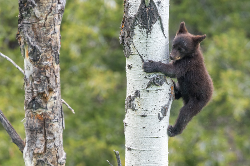 What goes up must come down. Baby bear comes down out of the tree. Yellowstone National Park