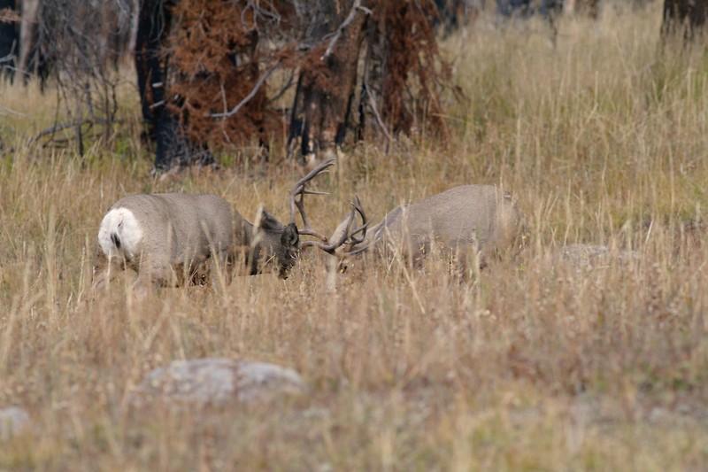 Mule Deer sparring Yellowstone _MG_3960.jpg