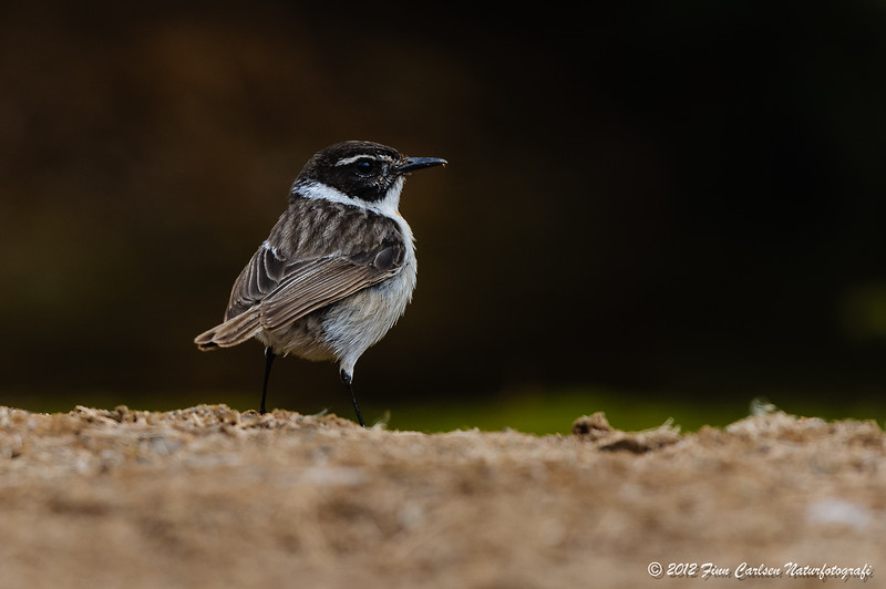 Kanarisk bynkefugl (Saxicola dacotiae - Fuerteventura Chat), han, Las Penitas, Fuerteventura - mar. 2012