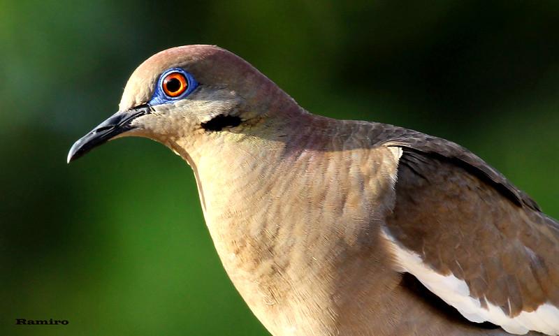 White wing dove 6-16-15 089.jpg