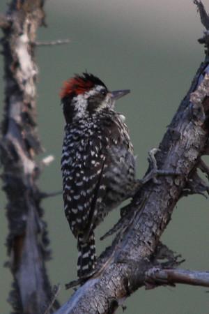 Carpinterito  /Striped Woodpecker