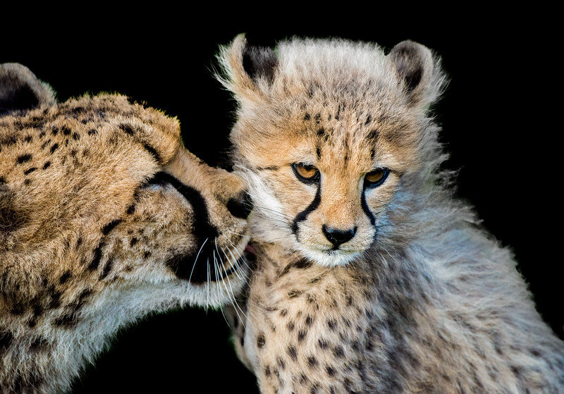 Sweet cheetah cub and mother cuddling and licking each other