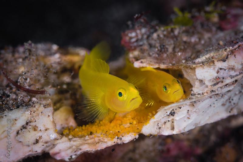FISH - goby lemon with eggs-0504-Edit-Edit.jpg
