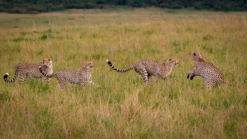 Cheetahs-0202.jpg