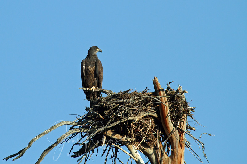 Eagle--maybe the one that tries to steal fish from the Osprey