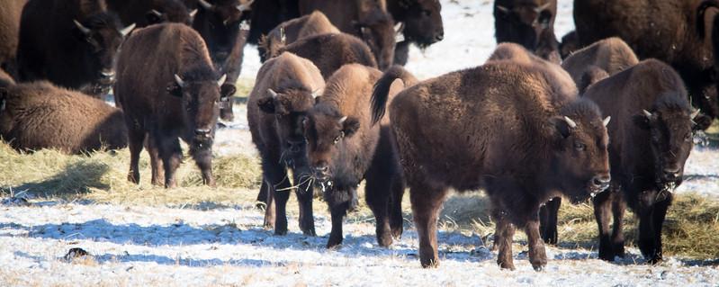 Buffalo Hunt (3).JPG