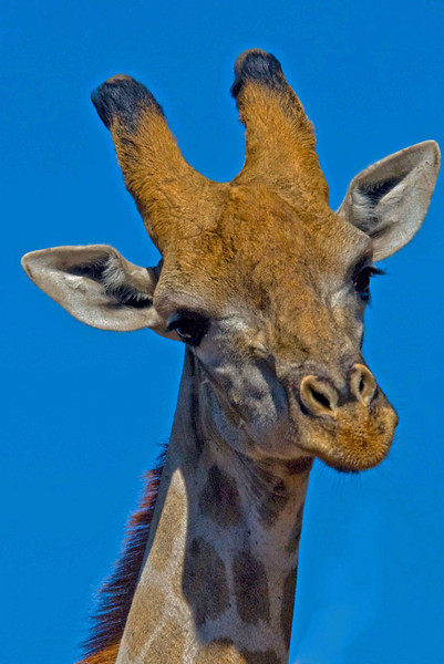 Giraffe3_edited-2.jpg