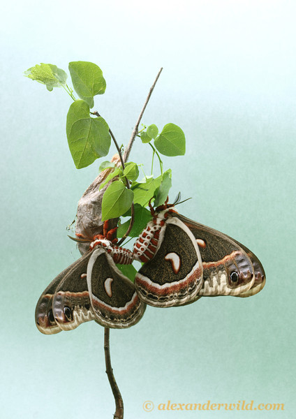 Hyalophora cecropia, North America's largest moths, mating.