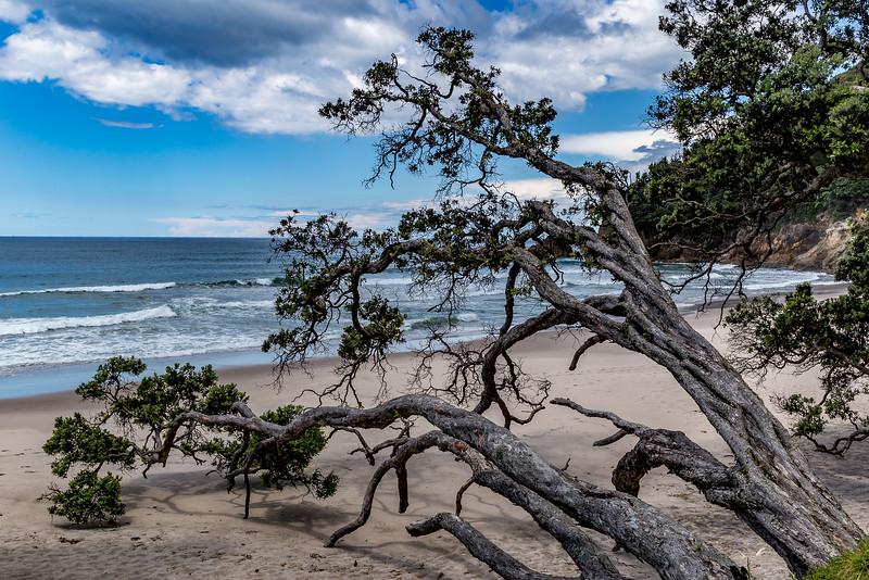 Gefallener Pohutukawa an der Orokawa Beach
