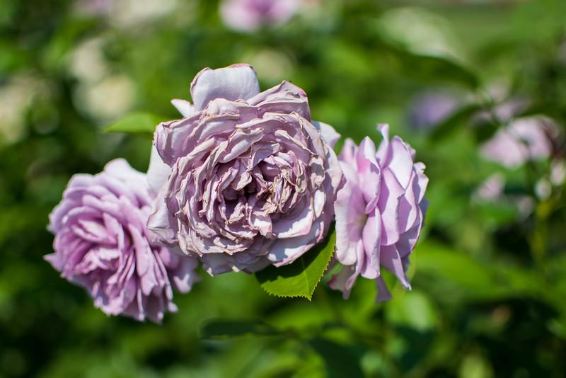 Peggy Rockefeller Rose Garden at New York Botanical Garden