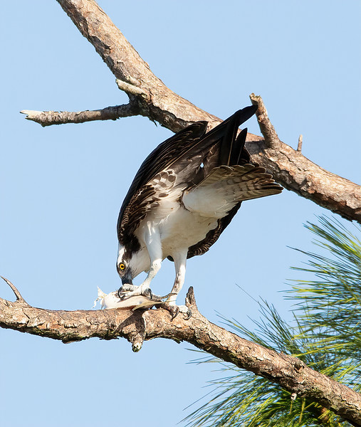 Osprey with the catch of the day!