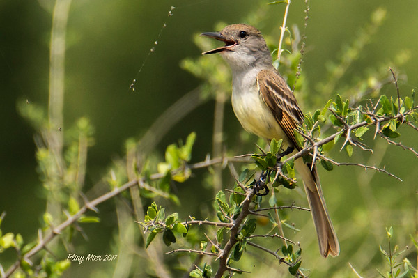 Great-crested FlycatcherLL.jpg