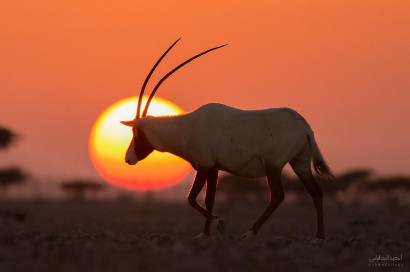Arabian Oryx (7).jpg