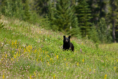 Wildlife in the Canadian Rockies - July 2009