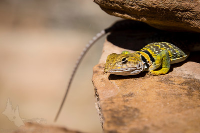 Collared Lizard.  We saw a few of these brightly-colored guys darting around during our hikes.  They seemed to like to pose for the camera actually!