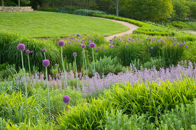 Purple Allium with greenery and pathway