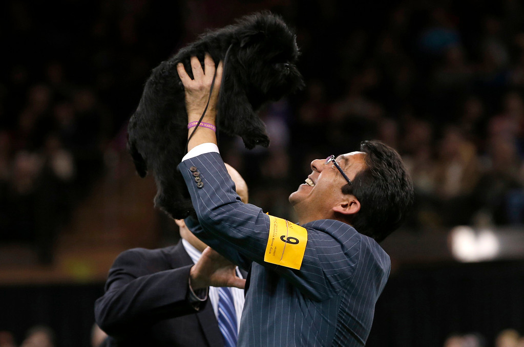. Handler Ernesto Lara holds up Banana Joe, an Affenpinscher, who won the Best in Show at the 137th Westminster Kennel Club Dog Show at Madison Square Garden in New York, February 12, 2013.   REUTERS/Mike Segar