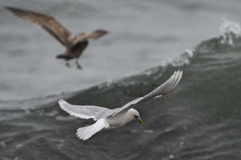 Iceland Gull & Herring Gull