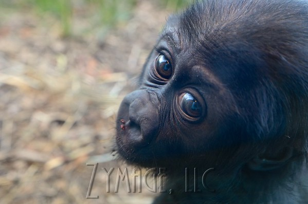 Baby Gorilla Kindi