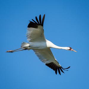 Whooping Cranes Et. Al.