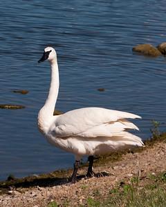 Pelican & Swan