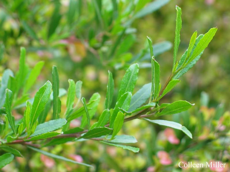 Dodonaea viscosa spp. spatulata / Wedge-leaf Hop Bush
