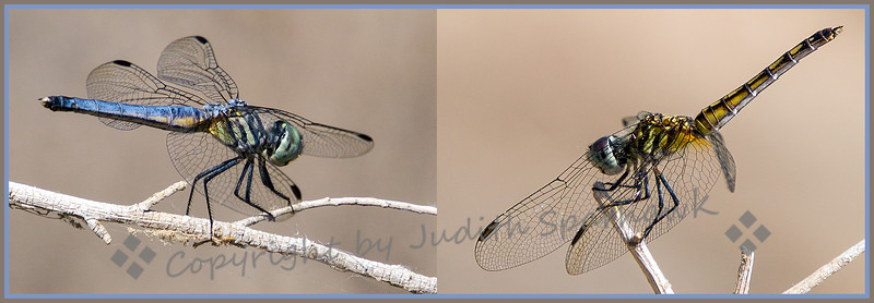 Mr. & Mrs. Blue Dasher