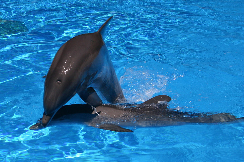 The dolphins were quite playful in one of the pools at the Dolphin Habitat at the Mirage Casino.