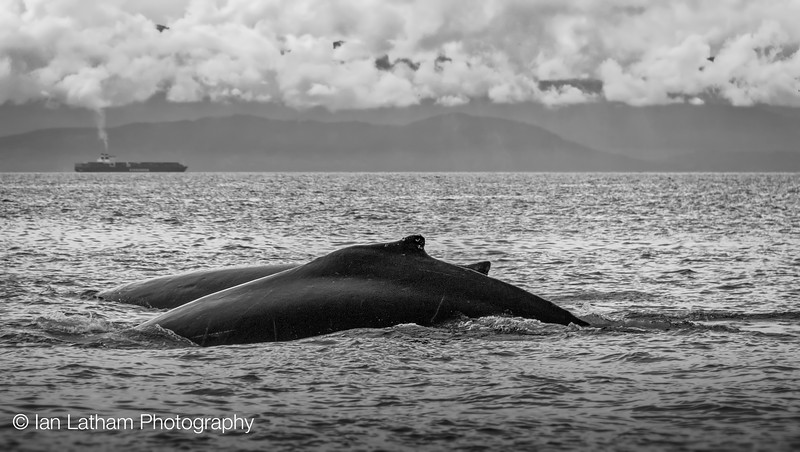 Cruising Humpbacks 1