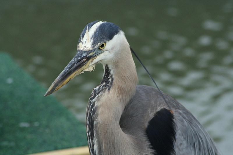 Great Blue Heron Close-Up.JPG