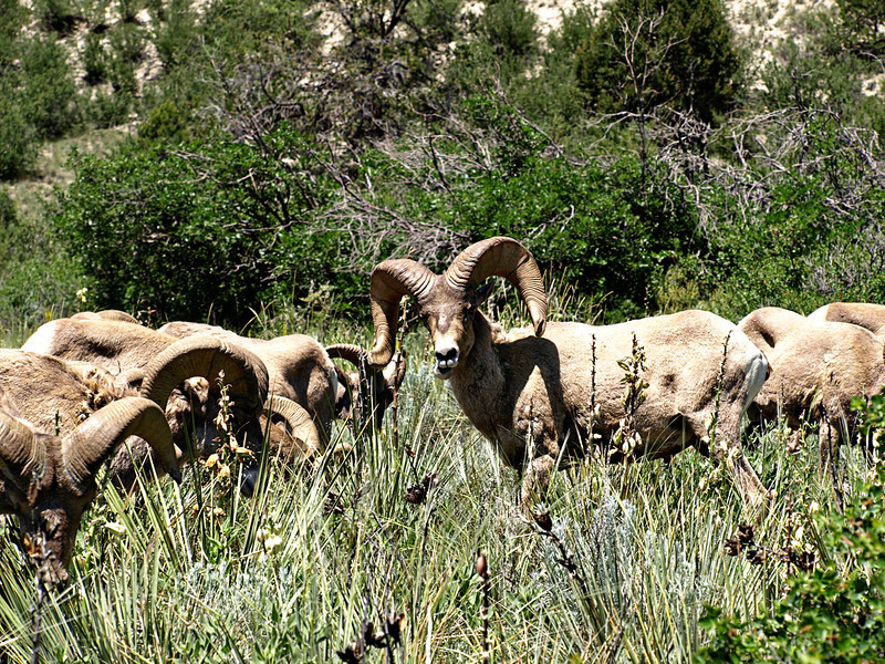 Big Horn Sheep - Garden of the Gods - Colorado Springs, Colorado  Order Code: A25