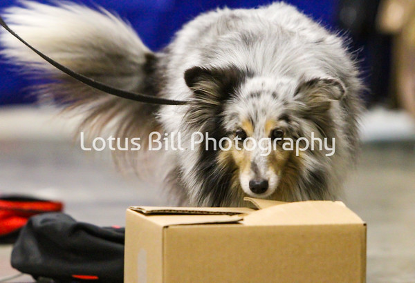 Blue Merle Shetland Sheepdog OH
