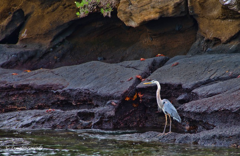 Great Blue Heron and Sally Lightfoot crabs at Cormorant Point, Floreana Island