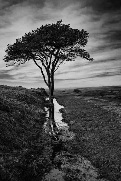 Pedro - Morag's Tree