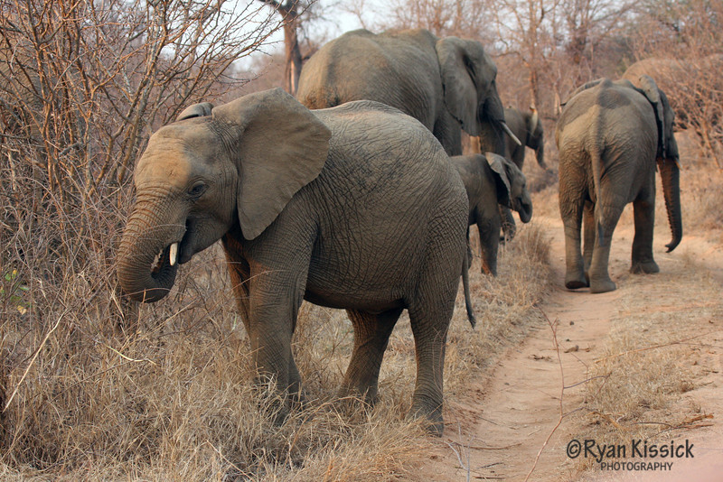 African elephants heading up the road