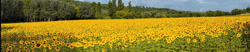 Untitled_Panorama happy sunflowerssmall.jpg