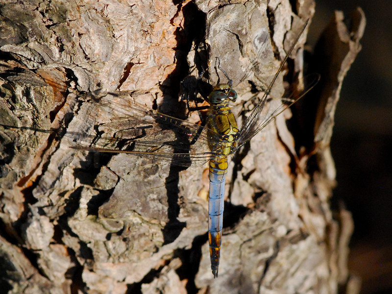 Male Black Tailed Skimmer, Orthetrum cancellatum, Camargue 2009 ak