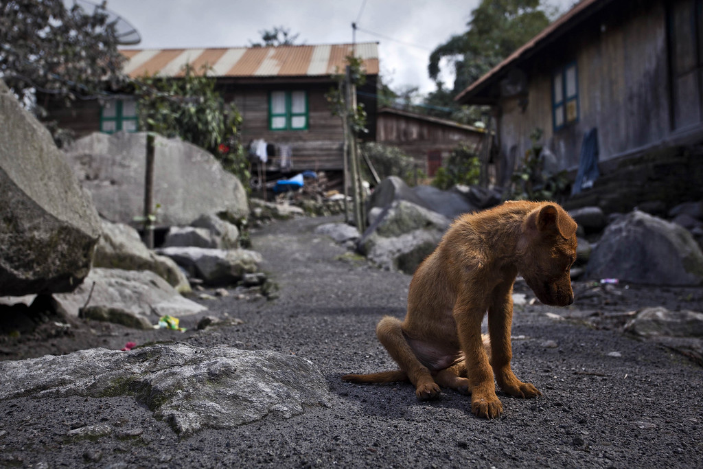. A puppy is seen at an abandoned village in Mardinding village, located just less than three kilometers from mount Sinabung on November 15, 2013 in Karo district, South Sumatra, Indonesia.  (Photo by Ulet Ifansasti/Getty Images)