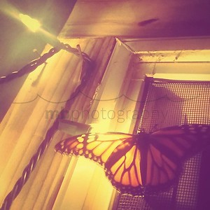 Ever seen a monarch #butterfly at night? #keokeagirl #likeamothtoaflame #nightmoth #buggirl