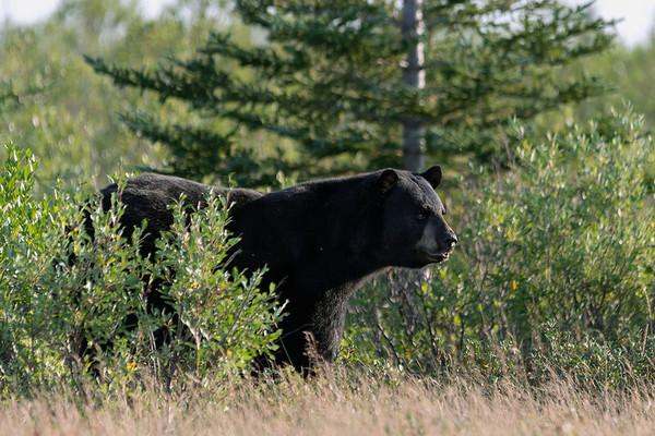 Polar bears and black bears