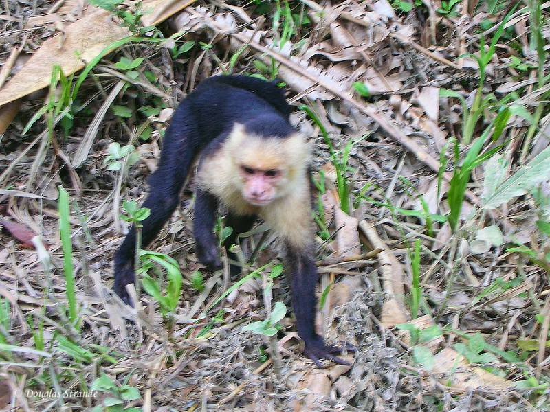 310-0902-ManuelAntonioPark-CapuchinMonkey.jpg