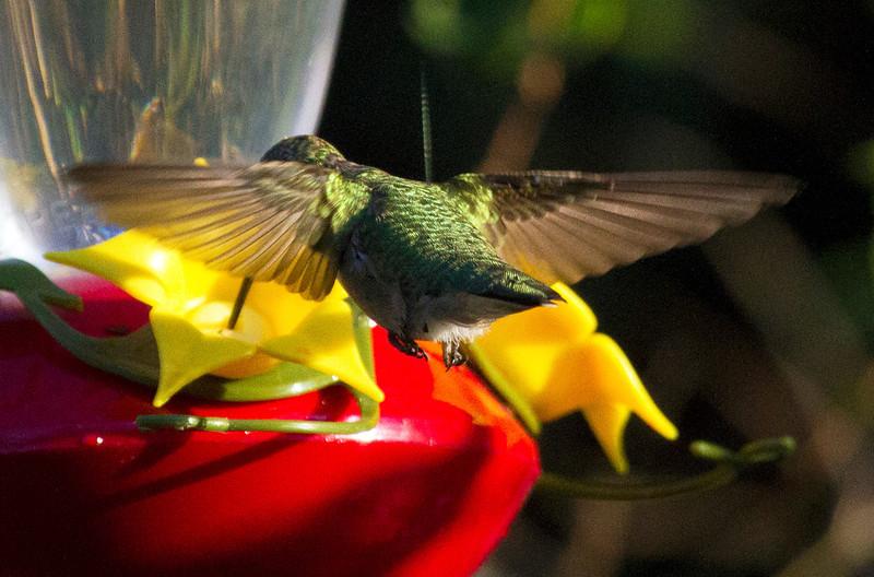 hummingbirdatfeeder10.jpg