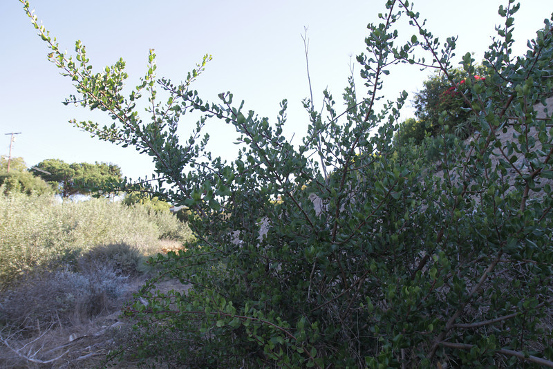Lemonadeberry, Rhus integrifolia. Well-recovered after the goats.