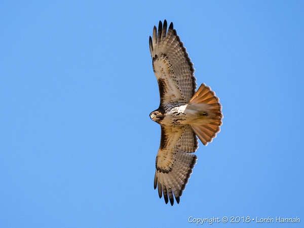 3/18 Local Red-Tails & Kestrels - Lake County, IL