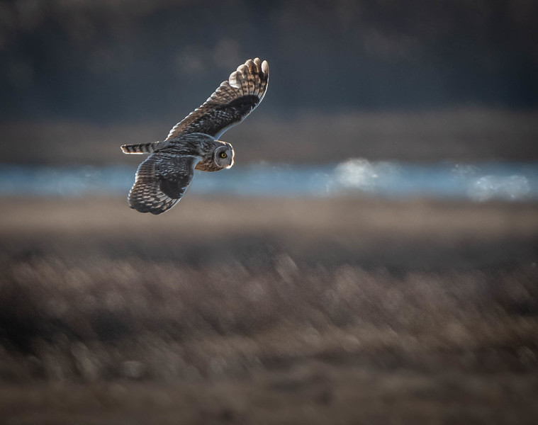 Short-eared Owl flying river copy
