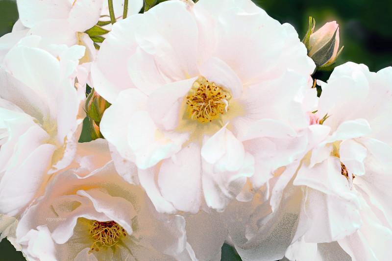 Roses-Penelope